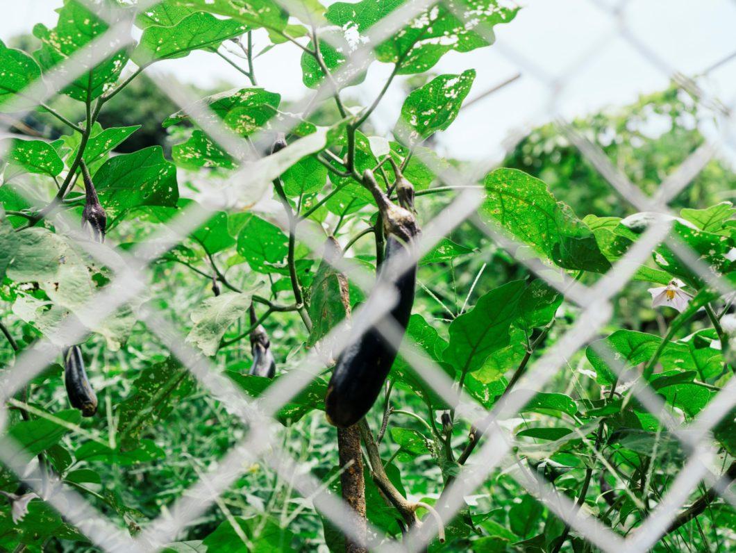 フェンス越しに見える収穫を待つナス