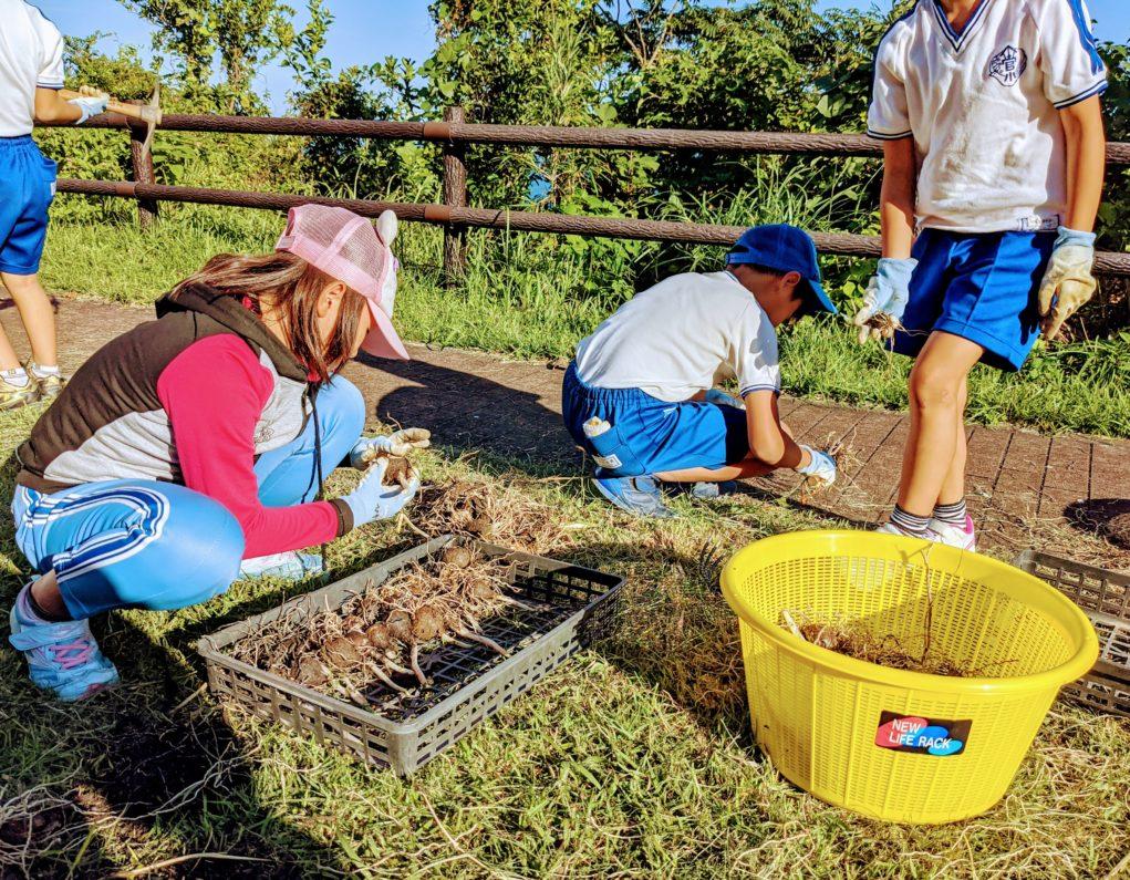 菅島灯台に水仙の花壇を作るために掘り起こした水仙の球根を並べる小学生