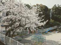 2020年度菅島保育所退所式の園庭の満開の桜